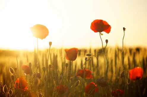 sunset-poppy-backlight-66274.jpeg