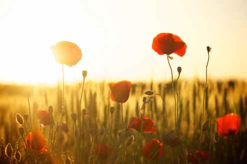 sunset-poppy-backlight-66274.jpeg