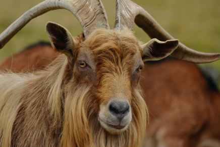 animal blur fur horns